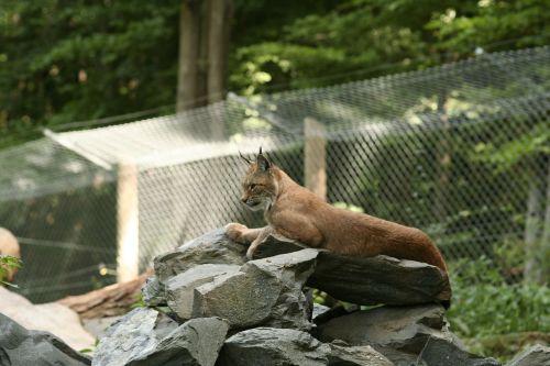 lynx felidae lynx lynx