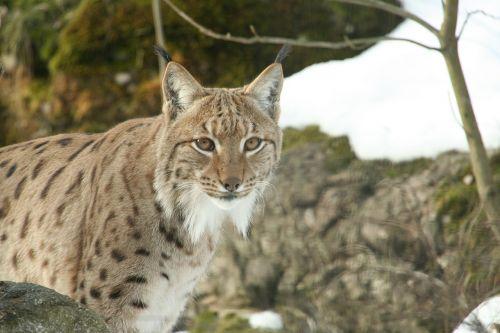 lynx zoo wild
