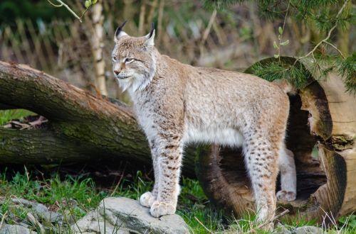 katė, mėsėdis, ausys, trikampis, gamta, kraštovaizdis, gyvūnas, laukiniai, žinduolis, laukinė gamta, plėšrūnas, kailis, kačių, lūšis, laukinė gamta