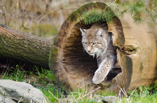 Lynx, Wildlife