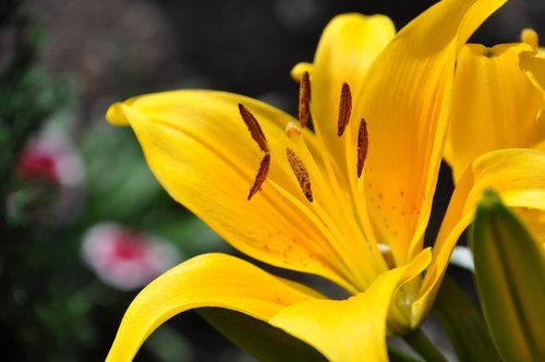 lys  yellow lily  white lily