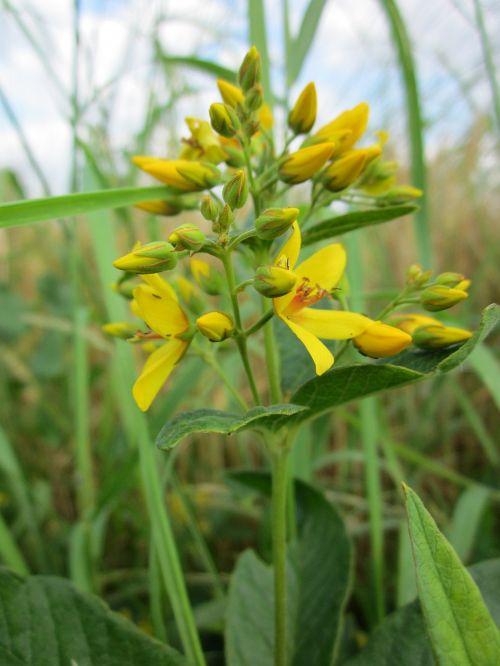 lysimachia vulgaris garden loosestrife yellow loosestrife
