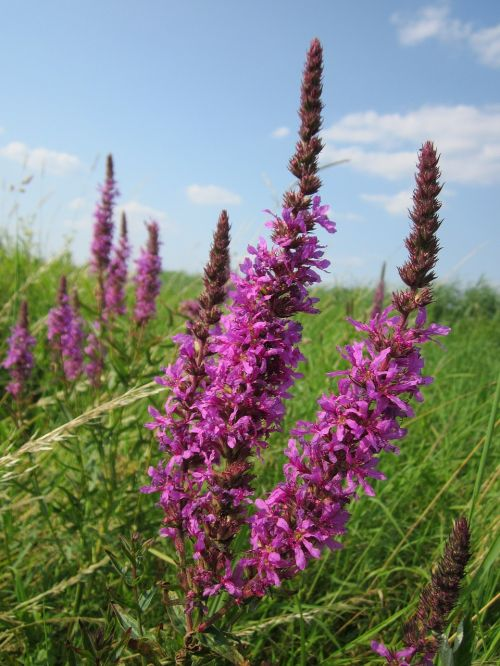 lythrum salicaria purple loosestrife spiked loosestrife