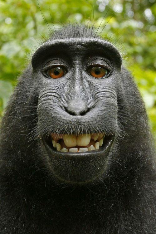 macaca nigra selfie self-portrait