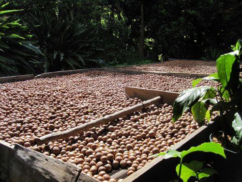macadamia nut organic harvest