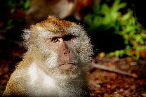 macaque monkey primate
