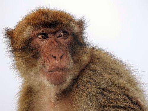 macaque ape gibraltar