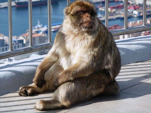 macaque makakhane monkey