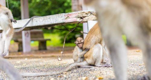 macaque monkeys ape thailand