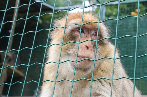 macaque of gibraltar  primate  mono