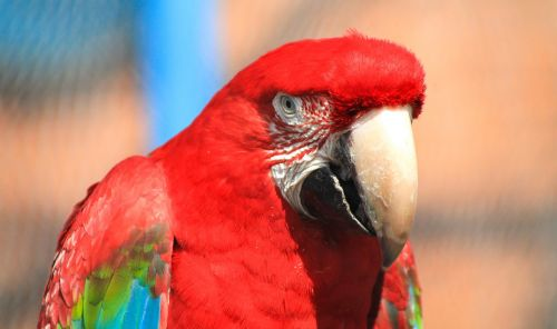 macaw,feathered,feather,pen,madárféle,ovipositor,beak,zoo,animal,bird,nice,color,red,free photos,free images,royalty free