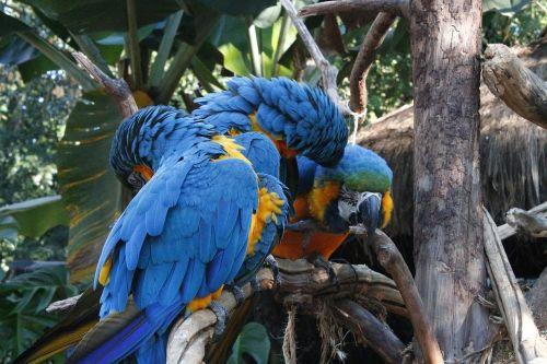 macaws blue triangle