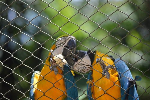 macaws kissing bird tropical birds