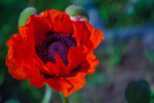 mack red flower