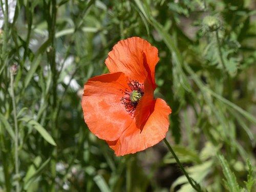 mack  flower  red poppy