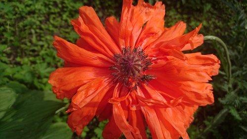 mack  red poppy  flower