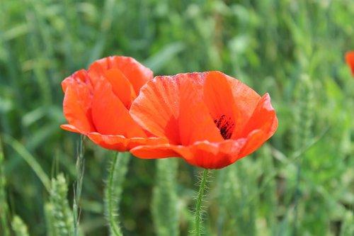 mack  flower  red