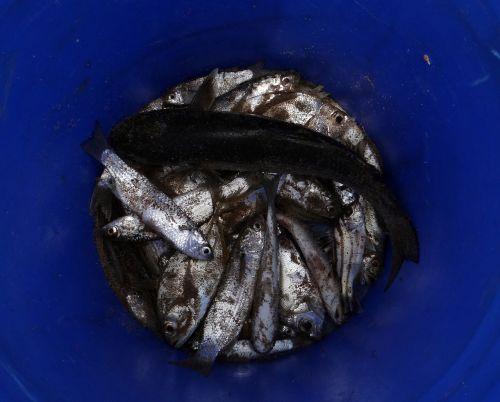 fish drying indian oil sardine