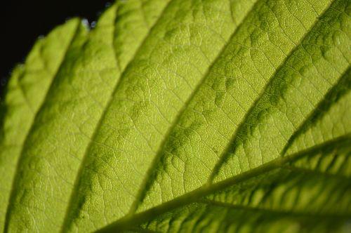 chlorophyll leaf macro