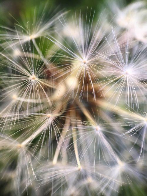 macro dandelion taraxacum