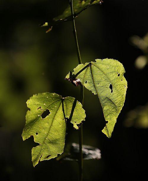 macro leaves beauty