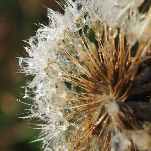 macro dandelion dandelions