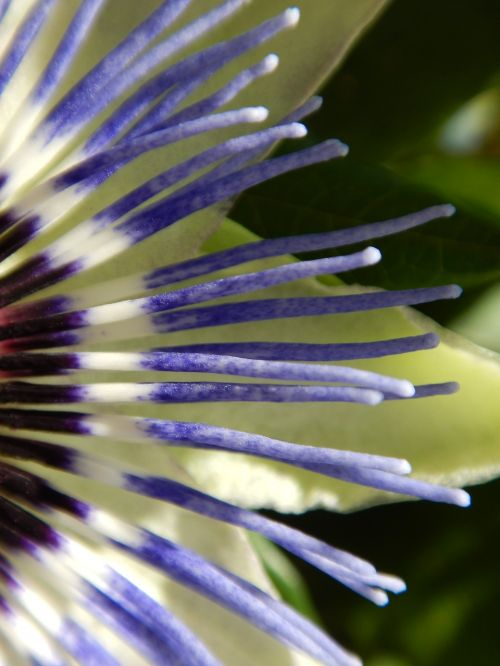 macro passion flower graphically