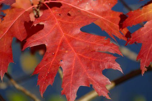 macro autumn leaf sessile oak
