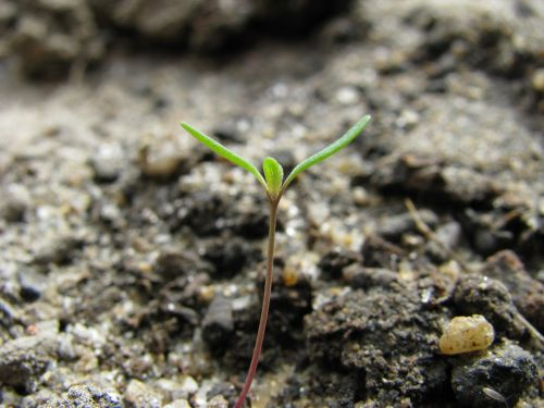 macro sprout germination