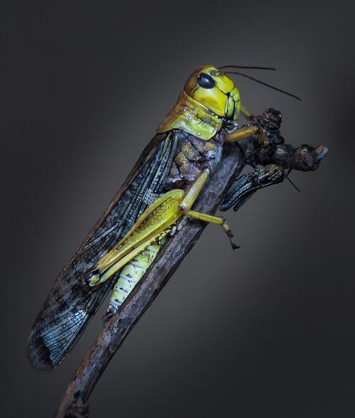 macro grasshopper insect