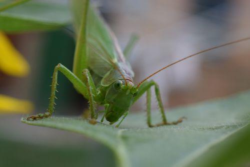 macro nature grasshopper