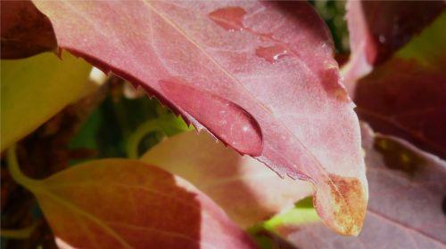 macro leaf dew drop