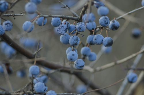 makro,posūkis,uogos,ruduo,žiema,filialas,mėlynas,gamta,makrofotografija