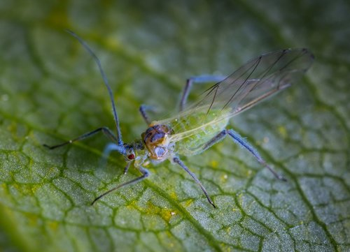 macro  insect  aphid