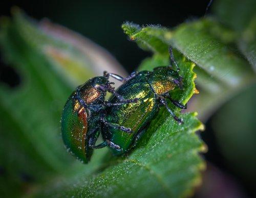 macro  insect  beetle