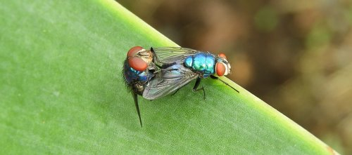 macro  insects  flies