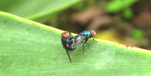 macro  insect  flies copulating