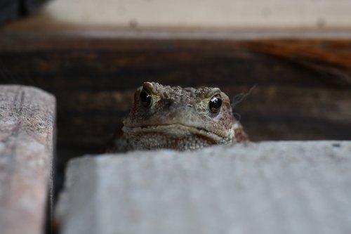 macro  closeup  toad