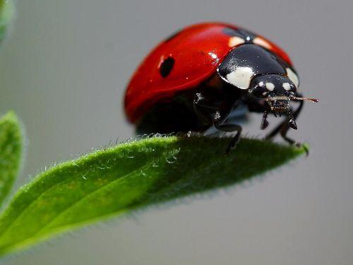 macro ladybugs ladybug