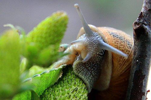 macro  snail  green
