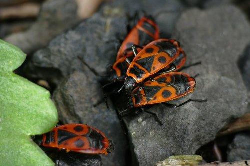 macro  nasty fire bug  pyrrhocoris apterus