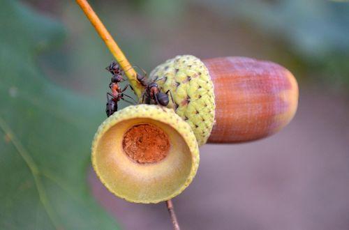macro ants acorns