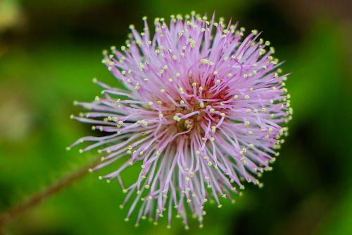 makro,gėlė,žiedadulkės,raudona,gamta,rosa,Raudona roze,aguona,augalai,žalias,gėlės,sodas,pavasaris,fuksija