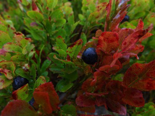 macro blueberries bilberry
