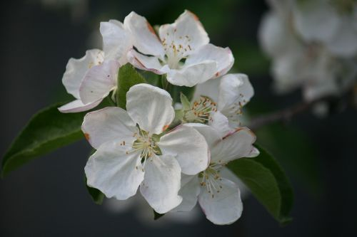 macro flowers white dacha