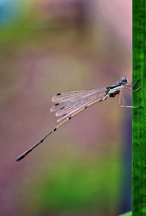 macrophotography damselfly bug