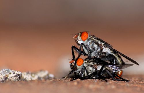 macros flies insects