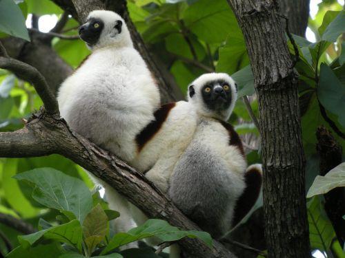 madagascar lemurs nature