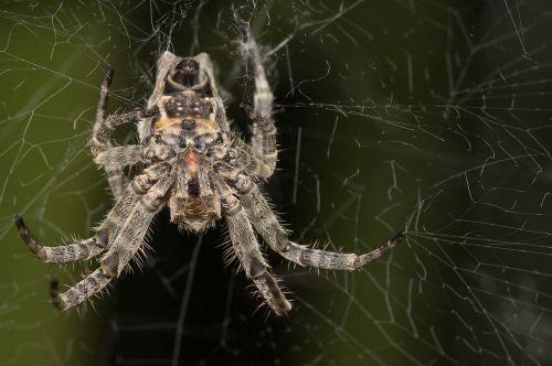madagascar macro spider