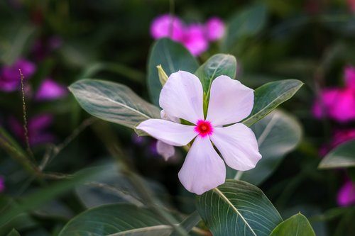 madagascar periwinkle  billygoat weed  tropical periwinkle